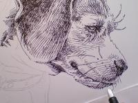 Beagle Besina - perokresba