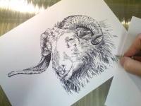 Beran, ovce