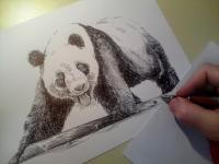 Panda - perokresba