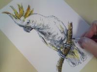 Kakadu žlutolící - kresba