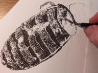 Štěnice domácí - perokresba