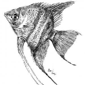 Skalár - perokresba, akvarijní ryba
