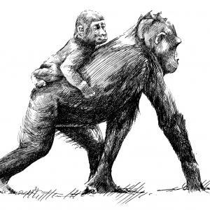 Gorila nížinná