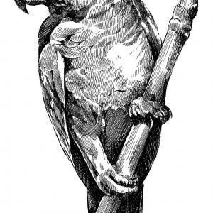 Papoušek šedý – žako