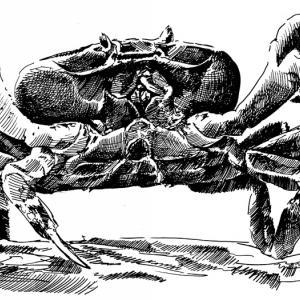 Mořský krab