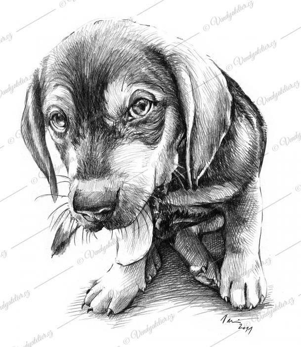 Jezevčík - štěně