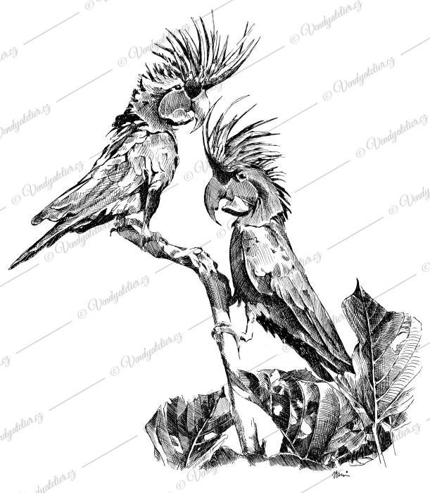 Kakadu arový