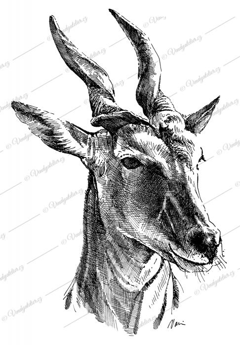 Antilopa losí