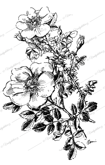 Planá růže