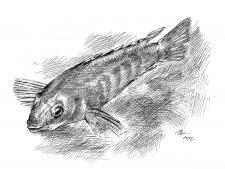 perokresba, akvarijní ryba