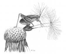 luční koník, kobylka