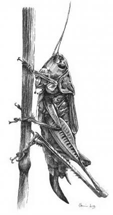 Luční kobylka