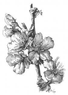 Kvetoucí třešně